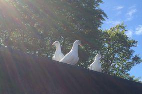 White Angel Dove Release