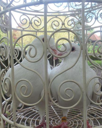 Dove Affair