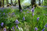 Bluebells for May photo shoot