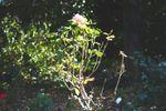 Tree in rose garden