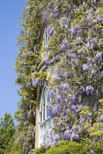 The famous wisteria