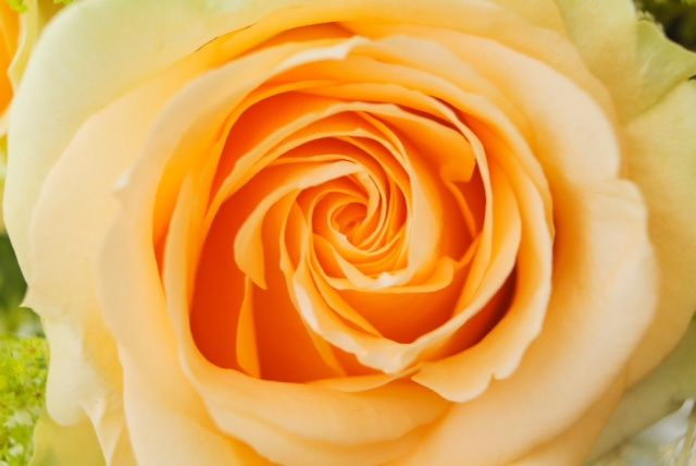 Perfect peach rose